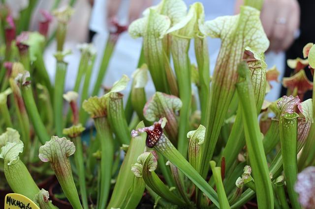 mucholapka z přírody